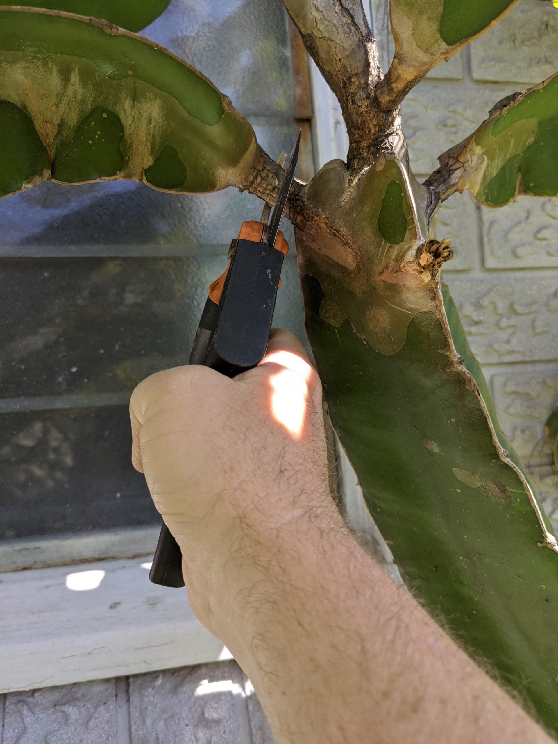 Secateurs vs Cactus